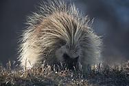 A porcupine grazes on grasses in Badlands National Park