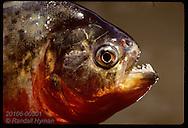 Red-bellied piranha (sp: Pygocentrus nattereri) caught in Tapajos River near Santarem. Brazil