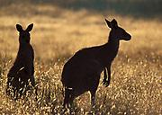 Eastern Grey Kangaroo, Macropus giganteus, backlight by sunrise, grasses, silhouette
