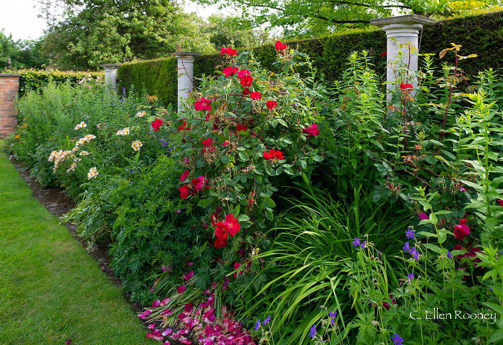 Rosa 'American Pillar and Alstromeria in a border in the Pillar Garden at Stockton Bury Gardens, Leominster, Herefordshire, UK