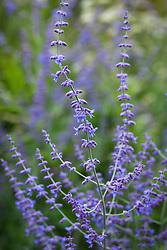 Perovskia atriplicifolia 'Blue Spire' AGM