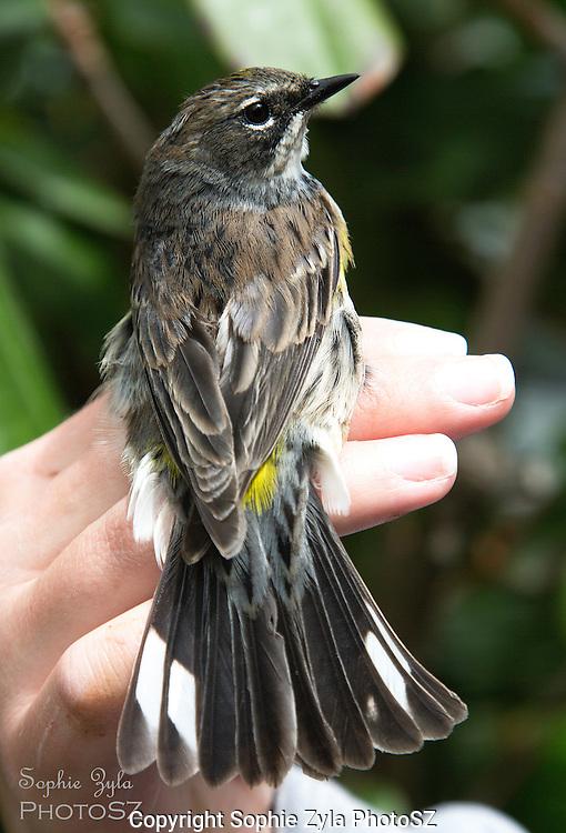 Yellow-rumped Warbler Manomet Bird Banding