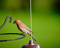House Finch.  Image taken with a Fuji X-T3 camera and 200 mm f/2 telephoto lens + 1.4x Teleconverter
