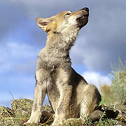 Gray Wolf, (Canis lupus) Pup howling. Summer.  Captive Animal.