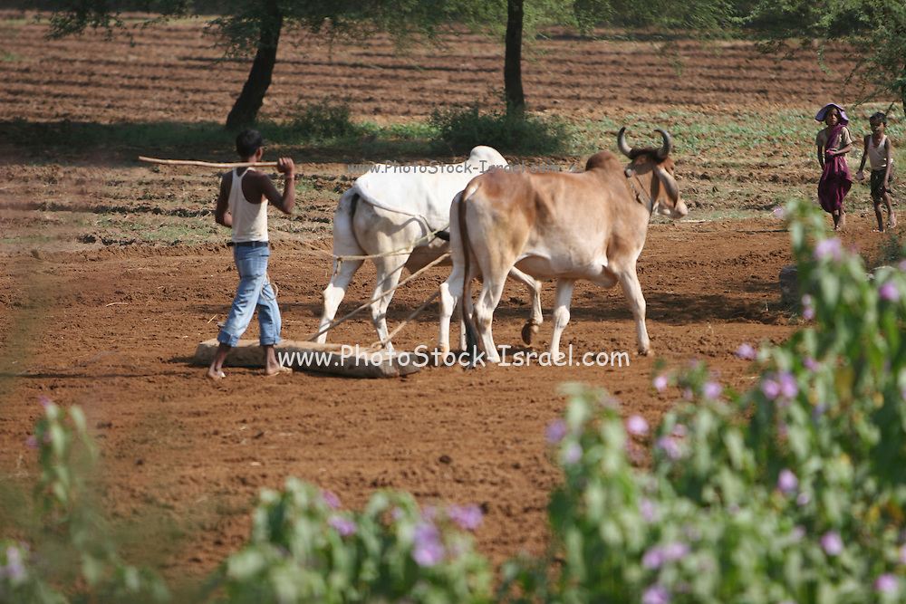 India Man ploughing his field in the traditional manner with a pair of oxen