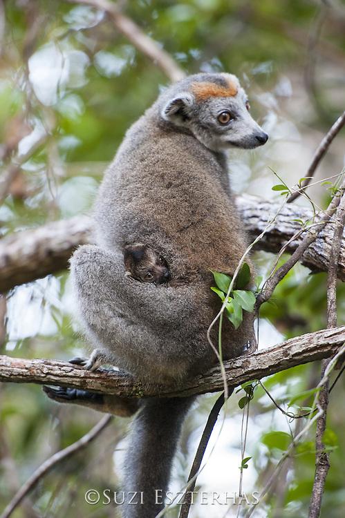 Crowned Lemur <br /> Eulemur coronatus<br /> Female with infant<br /> East Coast of Madagascar, Africa
