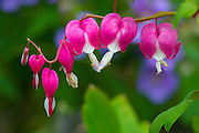 A brilliant fuschia- colored bleeding heart shines in the summer sunshine