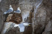 Black legged Kittiwake nests in Kongsford, near Ny Alesund on the Arctic archipelago of Svalbard