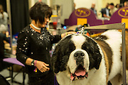 New York, NY - 16 February 2016. A St. Bernard and his handler in the benching area of the the 140th Westminster Kennel Club Dog show in Madison Square Garden.