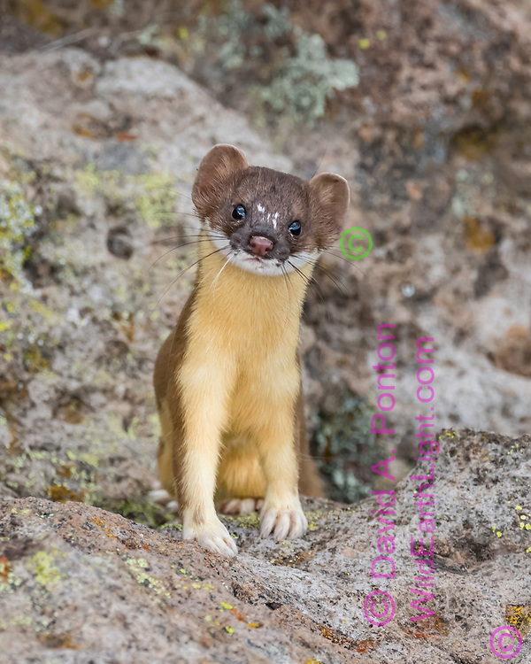 Long-tailed weasel pauses to look at observer, Pajarito Plateau, New Mexico, © David A. Ponton