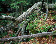 Fallen tree and forest floor carpeted with ferns, eastern summit of Droop Mountain, Beartown State Park, West Viginia.