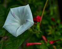 Morning Glory. Image taken with a Nikon D850 camera and 70-300 mm VR lens.