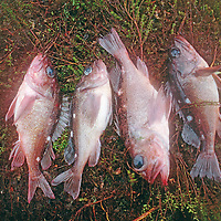 Patagonia, Chile. Fish caught in Taraba Sound, a fjord near Puerto Natales.