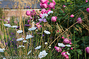 Cosmos 'Purity' and Cosmos bipinnatus 'Psyche Rose Picotee' - also sold by Mr Fothergill as 'Sweet Kisses' infront of Rosa 'Royal Jubilee'  - Pink English Rose by David Austin with Stipa gigantea - September