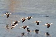 Flock of American Avocets landing.(Recurvirostra americana).Bolsa Chica Wetlands,California