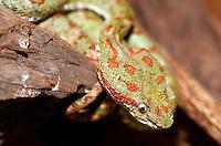 A poisonous eyelash pit viper (Bothriechis schlegelii) in Costa Rica.