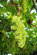 White Thompson Seedless Grapes grow on a vine on an arbor.