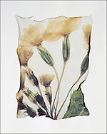 FLOWERPRESS - Wild Primrose - polaroid lift photo art print by Paul Williams. These rare and striking polaroid lift was taken iby Paul Williams in 1992 and was awarded a Polaroid European Final Art Award.