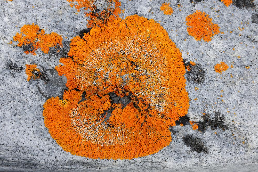 Lichen (Xanthoria sp.), on a stone, Svalbard, Norway