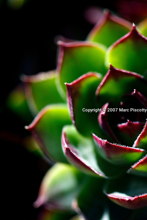 SHOT 4/16/2007 - Hen and chicks (also known as Hen-and-chickens) is a common name for a group of small succulents belonging to the flowering plant family Crassulaceae, native to Europe and northern Africa. They grow close to the ground with leaves formed around each other in a rosette, and propagating by offsets. The 'hen' is the main plant, and the 'chicks' are the offspring, which start as tiny buds on the main plant and soon sprout their own roots, taking up residence close to the mother plant.Aside from the common morphology, the many species of hen and chicks differ widely in appearance. Colours range from lime green to burgundy to purple, and size varies from as small as 1 cm to as large as 20 cm across. The leaves can be thin and spiky or thick and rounded with a pointed tip. Some, such as Cobweb Houseleek, have fine spiderweb-like filaments that grow naturally from leaf edge to leaf edge, forming a white cover on the top of the plant, while others have fine hairs that cover the entire plant structure. Upon maturity (usually around 3 to 4 years old) the plant will send up a single stalk that can reach 5-15 cm tall. The head of the stalk is a cluster of star-shaped flower buds 1-2 cm in diameter, which range in color from dark pink to yellow and that flower for several weeks. After blooming, the plant will die. Usually by this time it has produced many offsets ('chicks'). Hen and chicks are popular in gardens for their varied and interesting appearance and hardiness. They are grown as container planting or rock gardens. They do best in well-drained, rocky soil; if they stay wet, the outer leaves will rot. Although they do best in sun, they will grow in light shade..(Photo by Marc Piscotty © 2007)