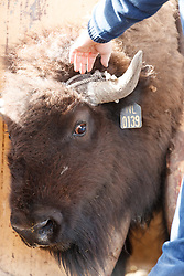 Cowboys working bison  during bison roundup, Ladder Ranch, west of Truth or Consequences, New Mexico, USA.