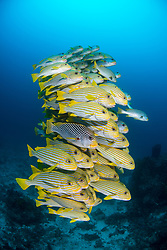 Mixed school of Diagonal-Banded Sweetlips, Plectorhinchus lineatus, and Ribbon Sweetlips, Plectorhinchus polytaenia, Raja Ampat,  West Papua, Indonesia, Indian Ocean
