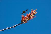 Carpenter bee, Xylocopa sp., approaching ocotillo flowers, Fouquieria splendens. Organ Pipe Cactus National Monument, Arizona.