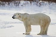 01874-12501 Polar bear (Ursus maritimus)  in winter, Churchill Wildlife Management Area, Churchill, MB Canada