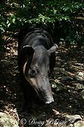 Baird's tapir or mountain cow, Tapirus bairdii, national animal of Belize, Endangered Species, Belize Zoo, Belize, Central America