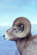 A bighorn ram (Ovis canadensis canadensis) portrait. Lostine Ridge, Wallowa Mountains, Oregon.