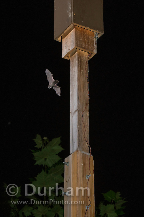 """An indiana bat (Myotis sodalis) flies in the vicinity of its artificial day roost shortly after emerging. Indianapolis, Indiana. These """"bat boxes"""" were created for a research project managed by the Center for Bat Research at Indiana State University to mitigate for lost habitat with this highly endangered species."""