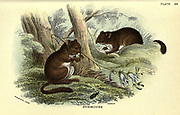 The hazel dormouse or common dormouse (Muscardinus avellanarius) is a small mammal and the only living species in the genus Muscardinus From the book ' A hand-book to the British mammalia ' by  Richard Lydekker, 1849-1915  Published in London, by Edward Lloyd in 1896