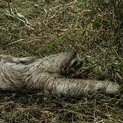 Central America, Centro America, Latin America, Latin, tropical, Costa Rica, Puerto Viejo, Caribbean, Manzanillo Wildlife Refuge, Manzanillo, A slow moving sloth in the Manzanillo Wildlife Refuge, Costa Rica.