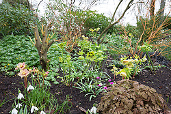 Helleborus x hybridus Ashwood Garden hybrids  planted on a sloping bank