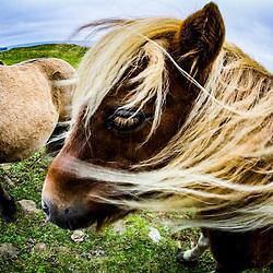 Shetland Ponies, Unst 9/10/2015