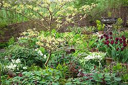 Spring border at Glebe Cottage including Narcissus 'Silver Chimes', Lamium orvala, Cornus controversa 'Variegata', and Tulipa 'Jan Reus' grown in terracotta pots.