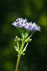 Wildflowers, Trinity River Audubon Center, Dallas, Texas, USA.