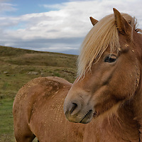 """Icelandic horses were brought by the Vikings from Norway to Island nearly 1000 years ago. The icelandic horse is probably the most pure and oldest breed of horse in the world; facing day by day the extreme weather conditions of Island it became very robust. <br /> According to """"Wikipedia"""" - Icelandic horses are long-lived and hardy. In their native country they have few diseases; Icelandic law prevents horses from being imported into the country and exported animals are not allowed to return."""