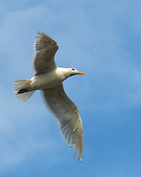 Glaucous-winged Gull (Larus glaucescens). Viewed from the deck of the MV Columbia. Bellingham, Washington. Image taken with a Nikon D300 camera and 18-200 mm VR lens.