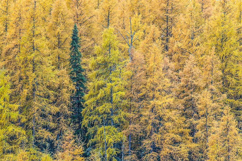 Tamarack trees (Larix spp.), overcast light, October, Hubbard County, Minnesota, USA