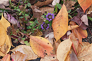 Almost unoticeable, the purple Heal All herb  (Prunella vulgaris) is nestled among the fallen leaves granting one of the last flowering colors of the year.