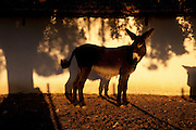 It is said that Cleopatra always took her bath in donkey milk to keep her beauty eternal. Far beyond the aesthetic benefits, the donkey milk is in the animal world the closest to the human maternal milk and was used as it´s substitute until the twentieth century. More recent findings indicate that the donkey milk can also be consumed by children allergic to cow's milk.<br /> Despite all this, the great utility of the donkey had always been their mobility and strength, with the mechanization of agriculture and the development of transportation, the donkey began to be used less and less. In Portugal, in the twentieth century, a very partircular kind of donkey came in the process of extinction, the race of Miranda.<br /> Four years ago two businessmen in Portugal decided to merge these two factors and create Naturasin, a company dedicated to preserving the kind of Miranda by producing she donkey milk and selling it to the cosmetic industry.<br /> The small farm in Couco a village 100 km from Lisbon is this days selling milk to countries as far away as South Korea, it has 50 she donkeys and in 2011 were born in the farm 17 copies of the endangered species. In Portugal. 20/01/2012 NO SALES IN PORTUGAL
