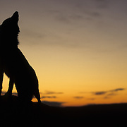 Gray Wolf howling at sunset in the Rocky Mountains of Montana. Captive Animal