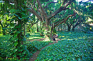 One of the last remaining wild spaces in West Maui, this small area of jungle exists between the road and Honolua Bay, a popular surfing and snorkeling spot.  It is owned by the Hawaii land Trust.