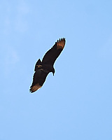 Turkey Vulture (Cathartes aura). Image taken with a Nikon Df camera and 70-200 mm f/2.8 VR lens.