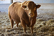 South Devon bull at Sheepdrove Organic Farm, Lambourn, England