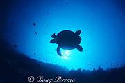 silhouette of hawksbill sea turtle, Eretmochelys imbricata, over reef, Marchengrotte, near Helengeli, Maldives ( Indian Ocean )