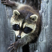 Raccoon, (Procyon lotor) Young coon in hollow tree. Spring. Montana.Captive Animal.