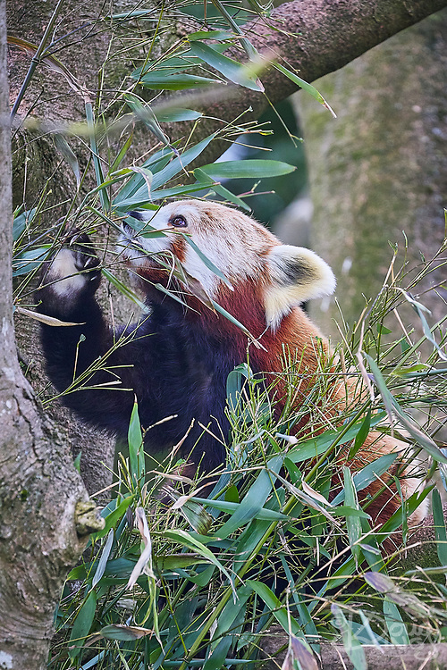 Red Panda<br /> Ailurus Fulgens at the Cotswold Wildlife Park, Oxfordshire, UK
