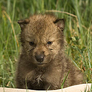 Gray Wolf, (Canis lupus) Young pup on antler.  Spring. Montana.  Captive Animal.